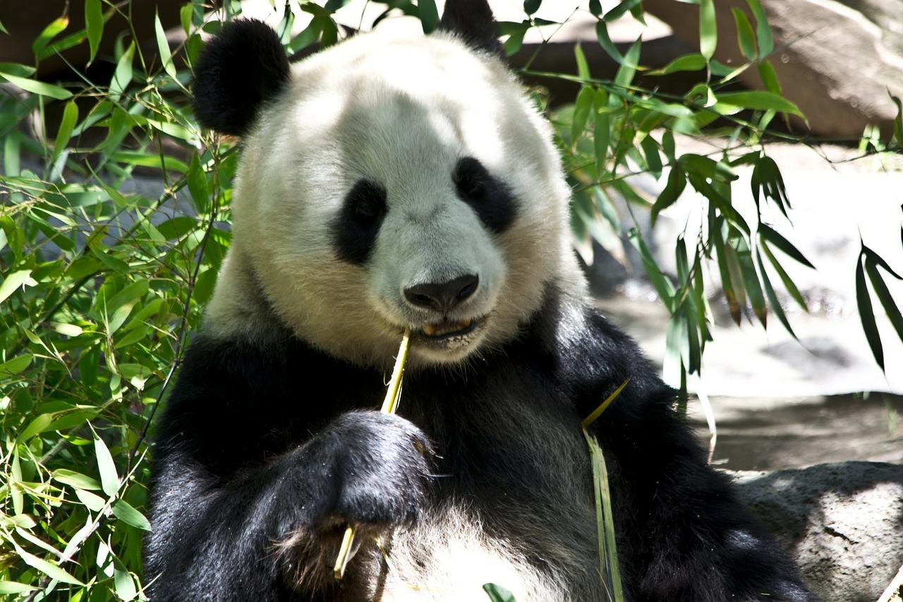 Viaje a China con Osos Panda y el Buda Leshan